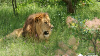 Экскурсия: Парк львов «Тайган»